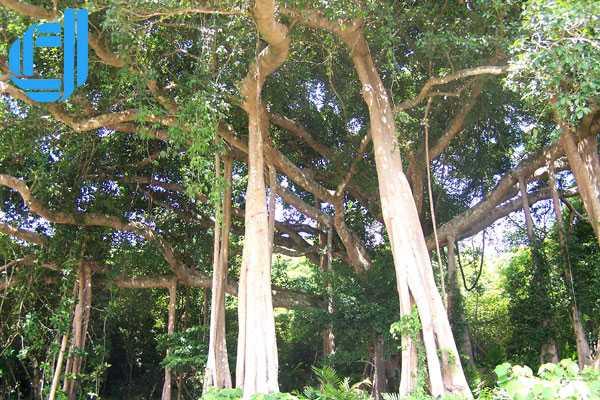 Khám phá cây đa 1000 tuổi trên đỉnh Sơn Trà